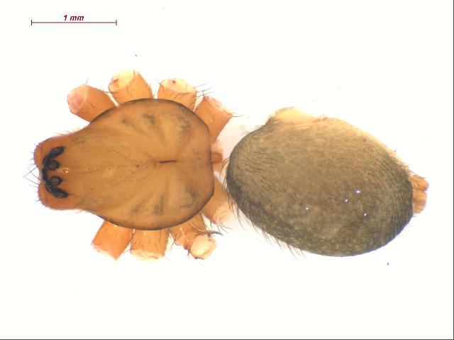 Image of <i>Cybaeus</i>