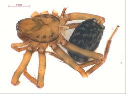 Image of <i>Allocybaeina littlewalteri</i>