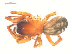 Image of <i>Cybaeus thermydrinos</i> Bennett 2009