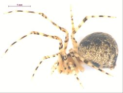 Image of <i>Theridion</i>