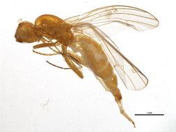 Image of rust flies