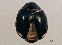 Image of <i>Hyperaspis oregona</i> Dobzhansky 1941