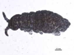Image of Brachystomellidae