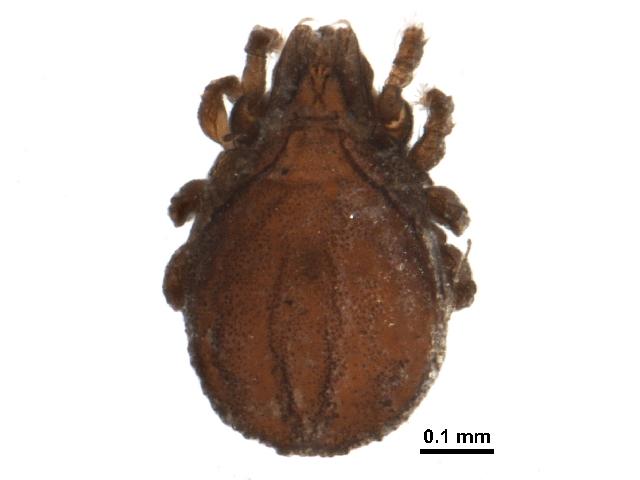 Image of Exochocepheus