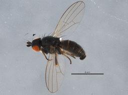 Image of <i>Chamaemyia herbarum</i> (Robineau-Desvoidy 1830)