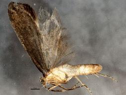 Image of <i>Ypsolopha dorsimaculella</i>