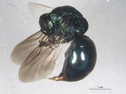 Image of Omalus