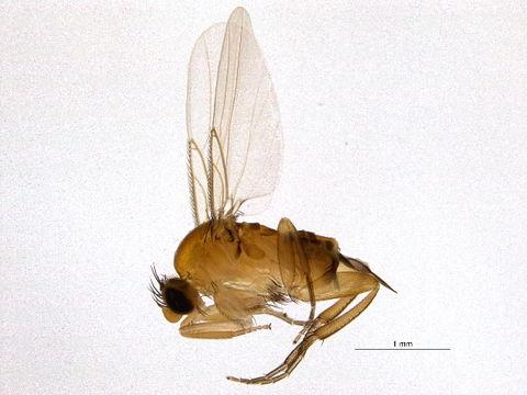 Image of <i>Apocephalus borealis</i> Brues 1924