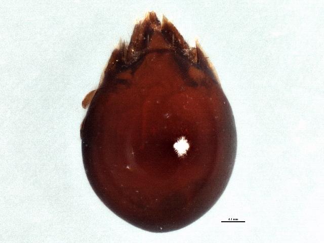 Image of Tenuialidae