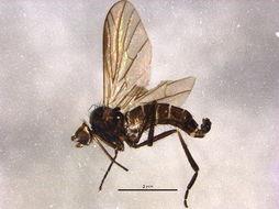 Image of Brachystomatidae