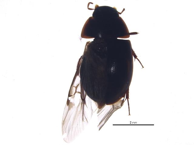 Image of <i>Cymbiodyta vindicata</i> Fall 1924