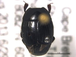 Image of <i>Margarinotus</i> (<i>Paralister</i>) <i>faedatus</i> (J. E. Le Conte 1845)