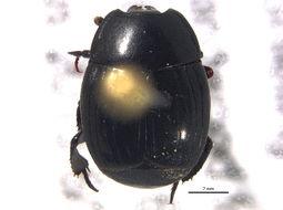 Image of <i>Margarinotus</i> (<i>Promethister</i>) <i>confusus</i> Wenzel 1944