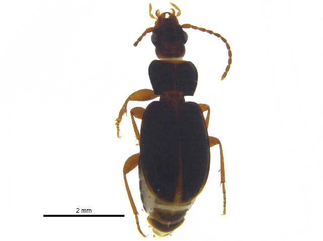 Image of <i><i>Trechus</i></i> (Trechus) <i>tenuiscapus</i> Lindroth 1961