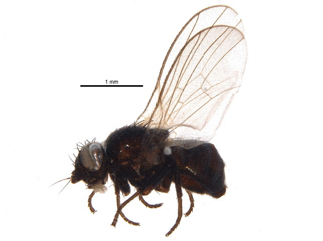 Image of <i>Agromyza nigripes</i> Meigen 1830