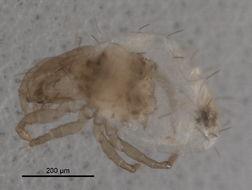 Image of <i>Phauloppia boletorum</i> (Ewing 1913)