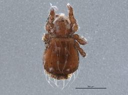 Image of <i>Platynothrus yamasakii</i>