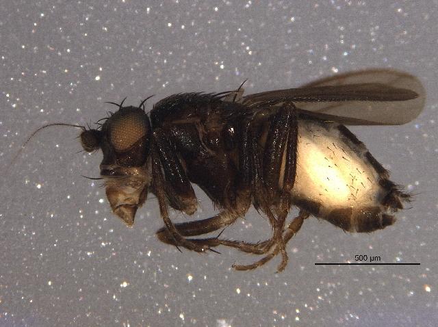 Image of <i>Pullimosina moesta</i>