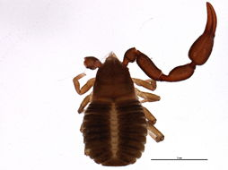 Image of Chernetidae