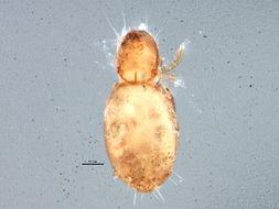 Image of <i><i>Euphthiracarus</i></i> (Euphthiracarus) <i>flavus</i> (Ewing 1908)