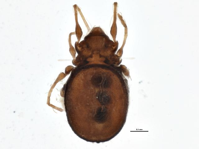 Image of <i>Gymnodamaeus ornatus</i> Hammer 1952