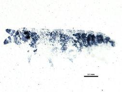 Image of Odontellidae