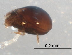 Image of <i><i>Achipteria</i></i> (Achipteria) <i>catskillensis</i> Nevin 1977