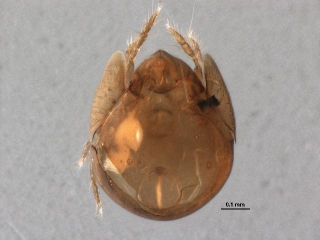 Image of Pilogalumna