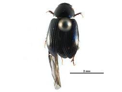 Image of <i>Agoliinus aleutus</i> (Eschscholtz 1822)