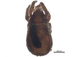Image of Platynothrus