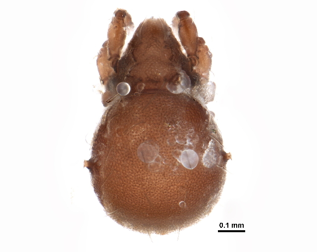 Image of Hermanniellidae