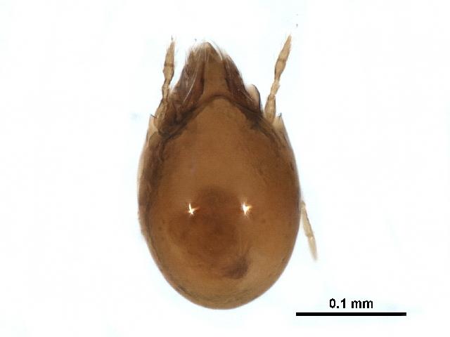 Image of <i><i>Ceratozetes</i></i> (Ceratozetes) <i>cuspidatus</i> Jacot 1939
