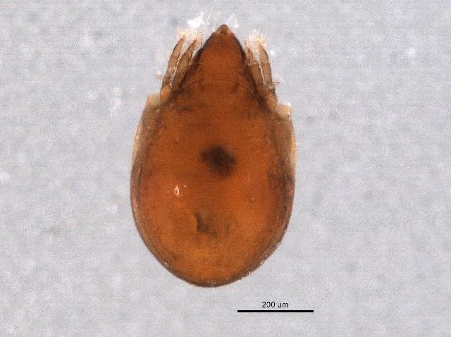 Image of Protoribates