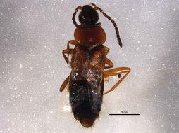 Image of <i>Lypoglossa franclemonti</i> Hoebeke 1992