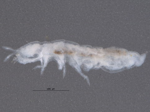 Image of blind springtails