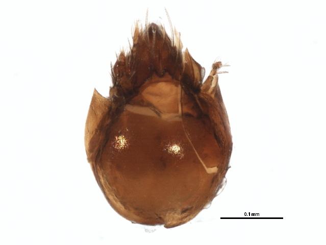 Image of Oribatellidae