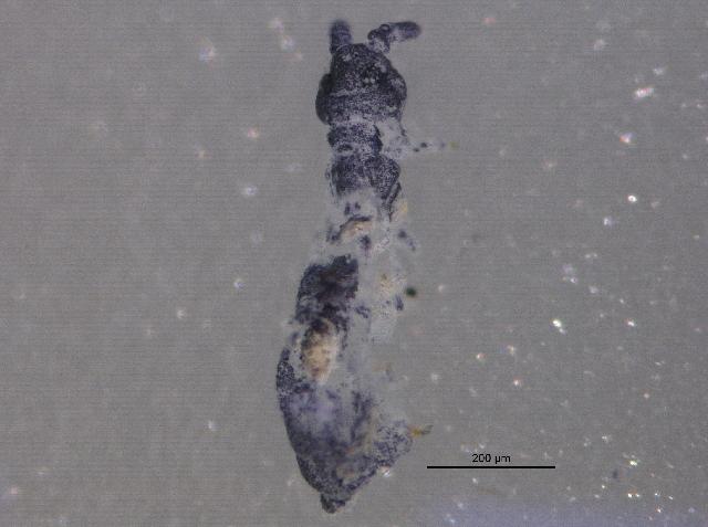 Image of blind springtails