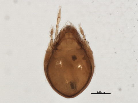 Image of Dendroeremaeidae