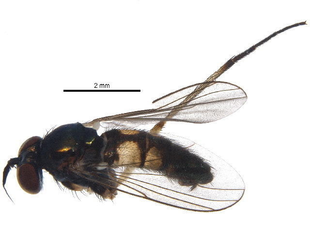 Image of <i>Argyra albicans</i> Loew 1861