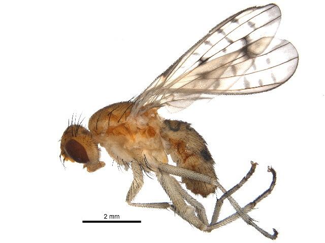 Image of Sciomyzinae