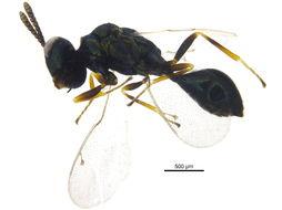 Image of eucharitid wasp