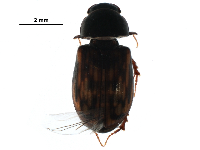 Image of <i>Agoliinus albertanus</i> (Brown 1928)