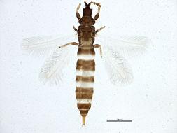 Image of Hoplothrips
