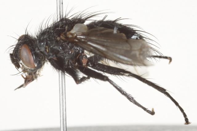 Image of <i>Panzeria triangularis</i> (Curran 1924)