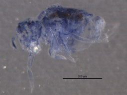 Image of Arrhopalitidae