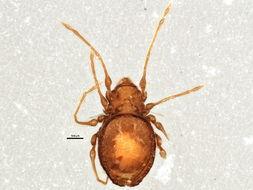 Image of Gymnodamaeus