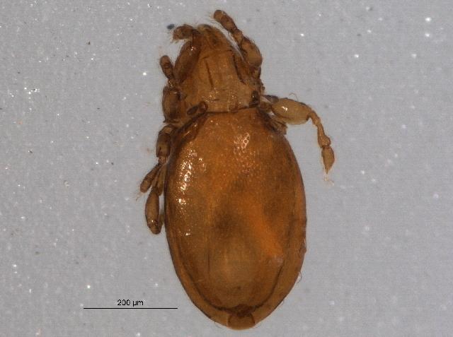 Image of <i>Eueremaeus chiatous</i> (Higgins 1979)