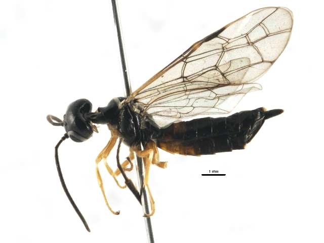 Image of <i>Janus abbreviatus</i> (Say)