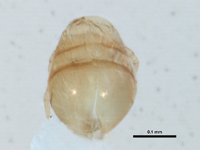 Image of <i>Eniochthonius crosbyi</i>