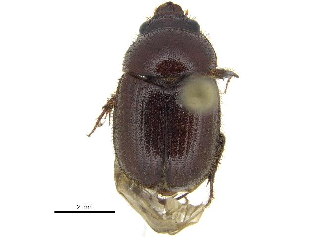 Image of <i>Xenochodaeus musculus</i> (Say 1835)